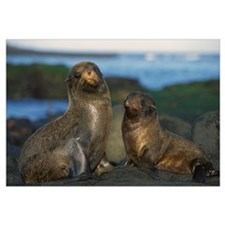 Galapagos Islands Fur Seal cow and pup on beach, G