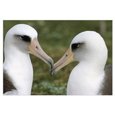 Laysan Albatross pair bonding, Midway Atoll, Hawai