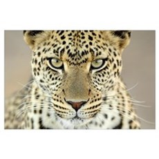 Leopard (Panthera pardus) female, Serengeti Nation Poster