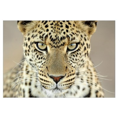 Leopard (Panthera pardus) female, Serengeti Nation Framed Print