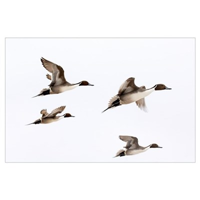 Northern Pintai (Anas acuta) group in flight, Hokk Poster