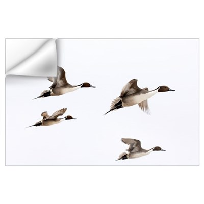 Northern Pintai (Anas acuta) group in flight, Hokk Wall Decal