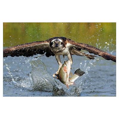 Osprey (Pandion haliaetus) catching fish, Huutijar Poster