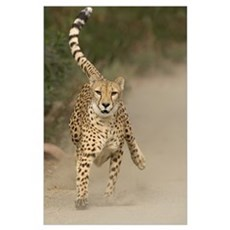 Cheetah (Acinonyx jubatus) in mid-stride Poster