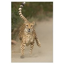 Cheetah (Acinonyx jubatus) in mid-stride