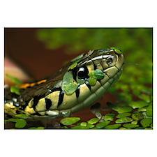 Common Garter Snake, native to North America