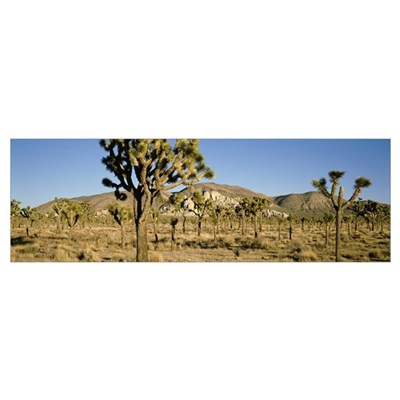 Joshua Tree Nat'l Park Queens Valley Late Afternoo Poster