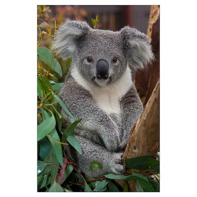Koala (Phascolarctos cinereus), native to Australi Poster