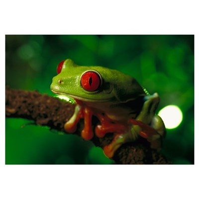 Red-eyed Tree Frog, native to tropical rainforests Canvas Art