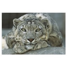 Snow Leopard portrait, mountainous regions of cent Poster