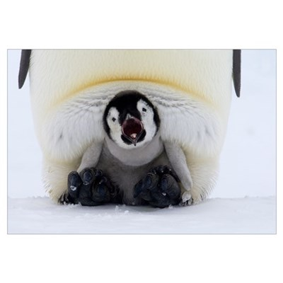 Emperor Penguin chick on the feet of an adult call Poster