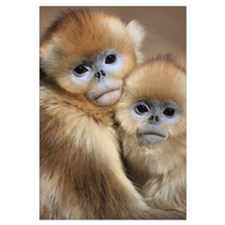 Golden monkey / Rhinopithecus roxellana