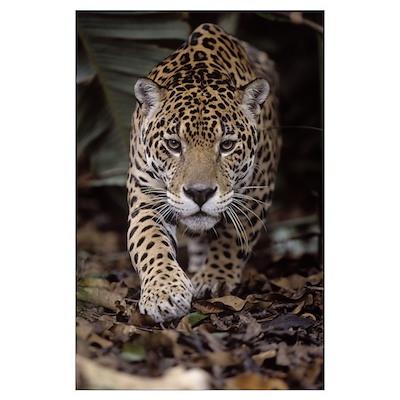 Jaguar (Panthera onca) stalking, French Guyana Poster