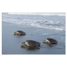 Olive Ridley Sea Turtle trio come ashore to lay eg Poster