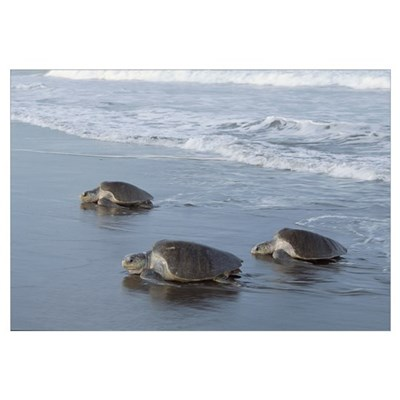 Olive Ridley Sea Turtle trio come ashore to lay eg Canvas Art