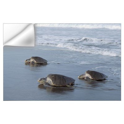Olive Ridley Sea Turtle trio come ashore to lay eg Wall Decal