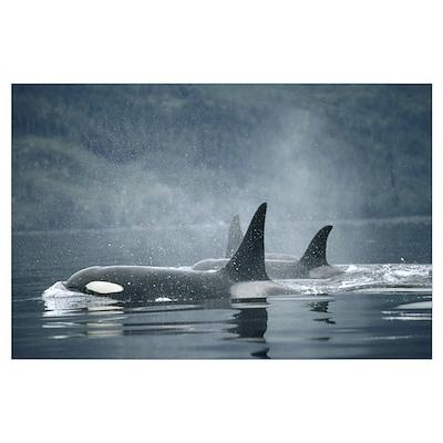 Orca Group surfacing, British Columbia Poster