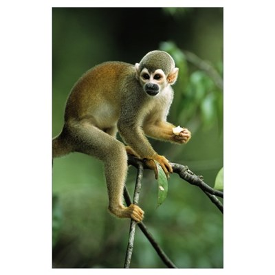 South American Squirrel Monkey, holding piece of f Poster