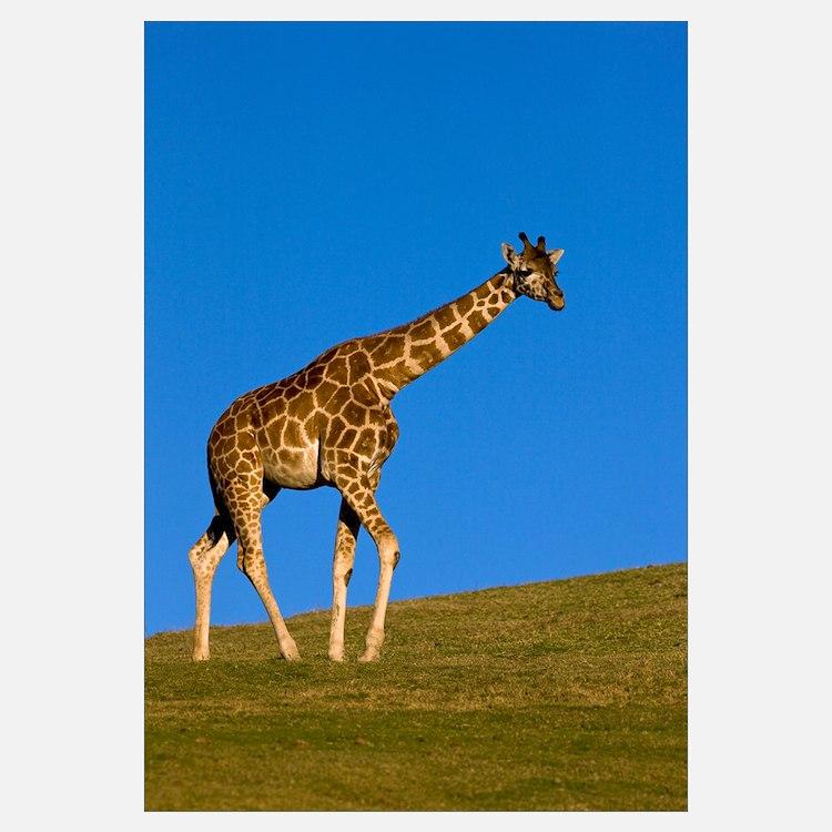 Rothschild Giraffe walking, native to Africa