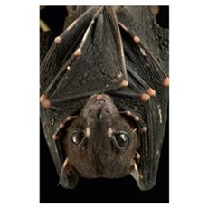 Spotted-winged Fruit Bat roosting, Bintulu, Borneo Poster