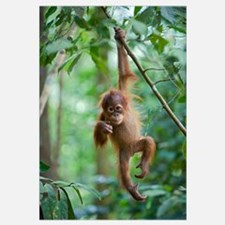 Sumatran Orangutan baby dangling from tree branch,