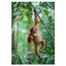 Sumatran Orangutan baby dangling from tree branch, Framed Print