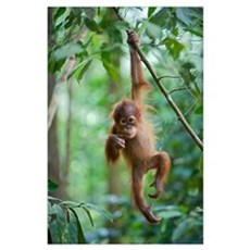 Sumatran Orangutan baby dangling from tree branch, Poster