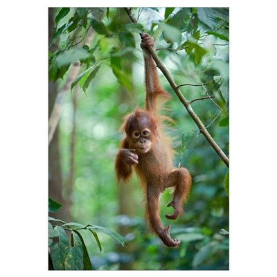 Sumatran Orangutan baby dangling from tree branch, Canvas Art