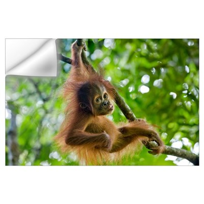 Sumatran Orangutan baby playing in tree, north Sum Wall Decal