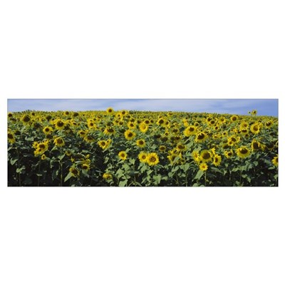 Sunflowers (Helianthus annuus) in a field, Leland, Poster