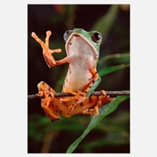Tiger-striped Leaf Frog, waving, Amazon rainforest