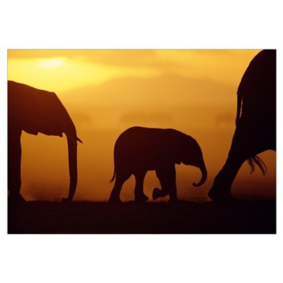 African Elephant herd with calf silhouetted at sun Framed Print