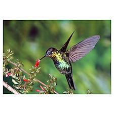 Fiery-throated Hummingbird feeding