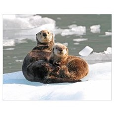Sea Otter Female with cub on ice floe Poster