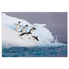 Adelie Penguins diving off iceberg Canvas Art