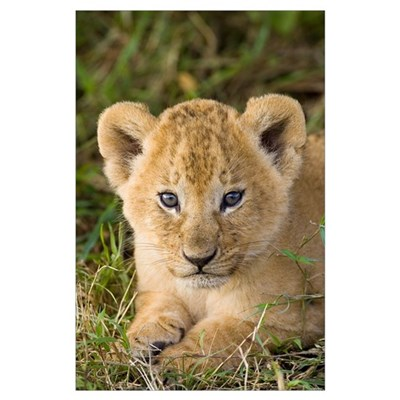 African Lion five week old cub Poster