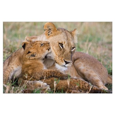 African Lion mother and young cubs Poster