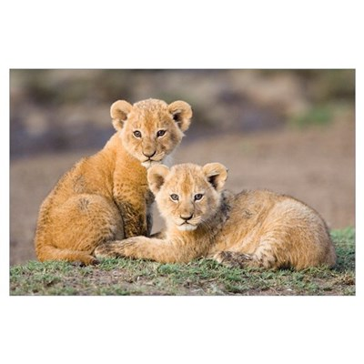 African Lion four to five week old cubs Poster