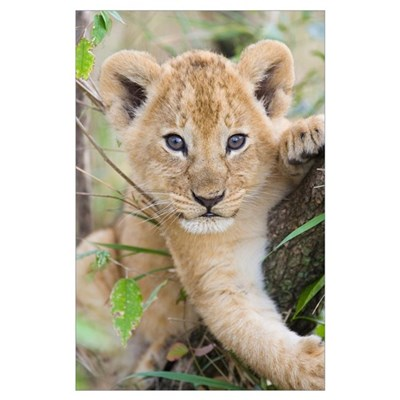 African Lion six to seven week old cub Poster