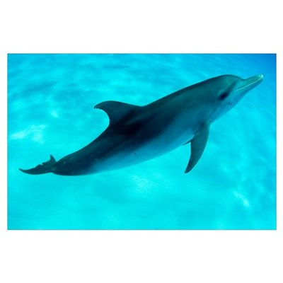Atlantic spotted dolphin swimming Poster