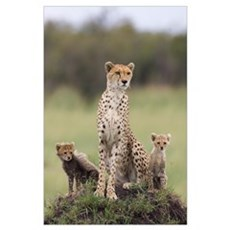 Cheetah mother and eight to nine week old cubs Poster