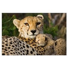 Cheetah thirteen day old cub resting against mothe Poster