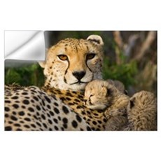 Cheetah thirteen day old cub resting against mothe Wall Decal