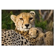 Cheetah thirteen day old cub resting against mothe