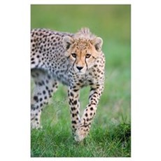Cheetah, 6 month old cub Poster