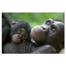Chimpanzee adult female and infant Poster