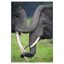 Elephas maximus / Asiatic Elephant