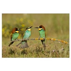 European Bee-eaters perched on branch Poster