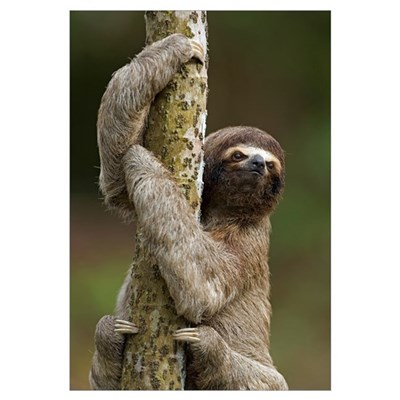 Brown-throated Three-toed Sloth Canvas Art