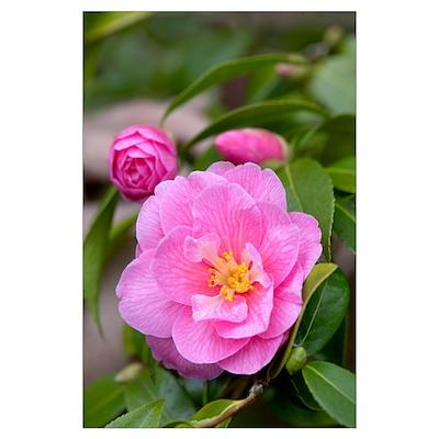 Camellia (Camellia x williamsii) donation variety Poster